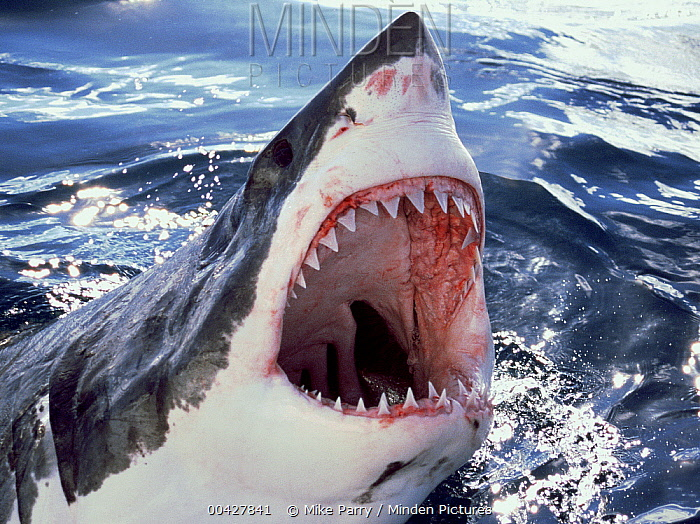 Great White Shark (Carcharodon carcharias) at surface with open mouth, Neptune Islands, Australia, *digitally enhanced*  -  Mike Parry