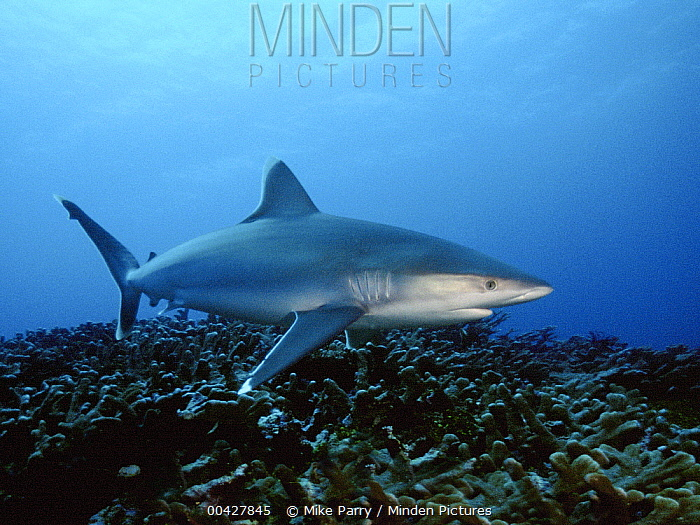 Silver-tip Shark (Carcharhinus albimarginatus) swimming over coral reef, Bismarck Sea, Papua New Guinea  -  Mike Parry