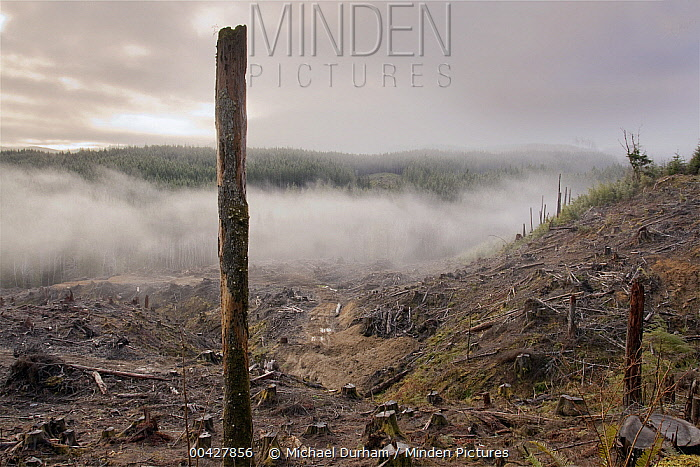 Clear cutting in Clatsop State Forest, Oregon  -  Michael Durham