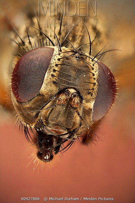 Stable Fly (Muscidae) female showing composite eyes, Texas  -  Michael Durham