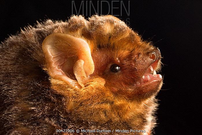 Seminole Bat (Lasiurus seminolus) portrait, east Texas  -  Michael Durham
