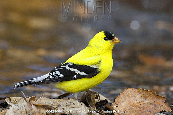 American Goldfinch (Carduelis tristis) on shoreline, Westby, Montana  -  Donald M. Jones