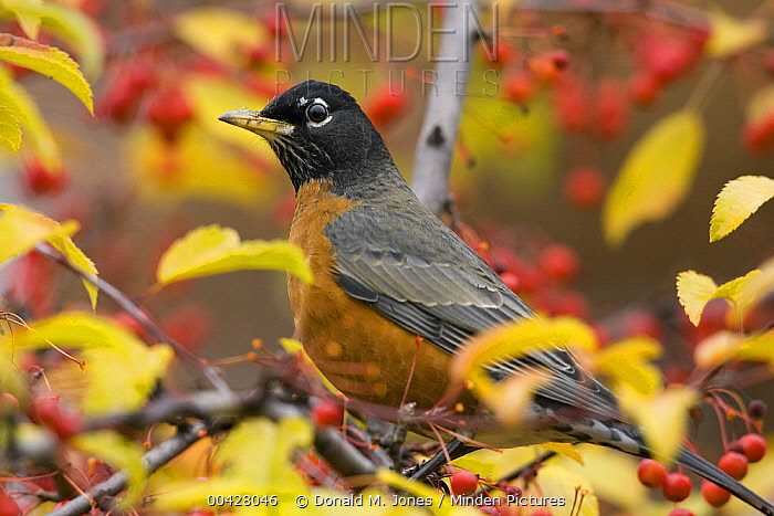 American Robin (Turdus migratorius) male in tree surrounded by ripe fruit, Troy, Montana  -  Donald M. Jones
