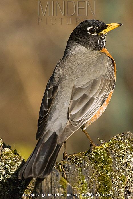 American Robin (Turdus migratorius) male, Troy, Montana  -  Donald M. Jones