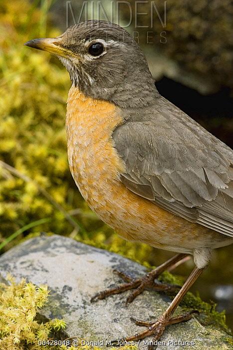 American Robin (Turdus migratorius) female, Troy, Montana  -  Donald M. Jones
