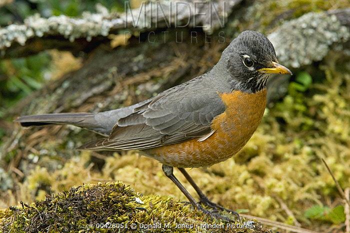 American Robin (Turdus migratorius) male on moss covered log, Troy, Montana  -  Donald M. Jones