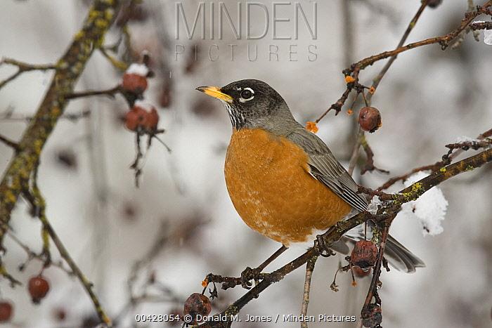 American Robin (Turdus migratorius) male in winter, Troy, Montana  -  Donald M. Jones