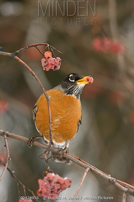 American Robin (Turdus migratorius) eating American Mountain Ash (Sorbus americana) berries, Troy, Montana  -  Donald M. Jones