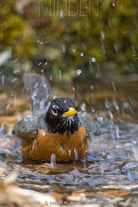 American Robin (Turdus migratorius) bathing, Troy, Montana  -  Donald M. Jones