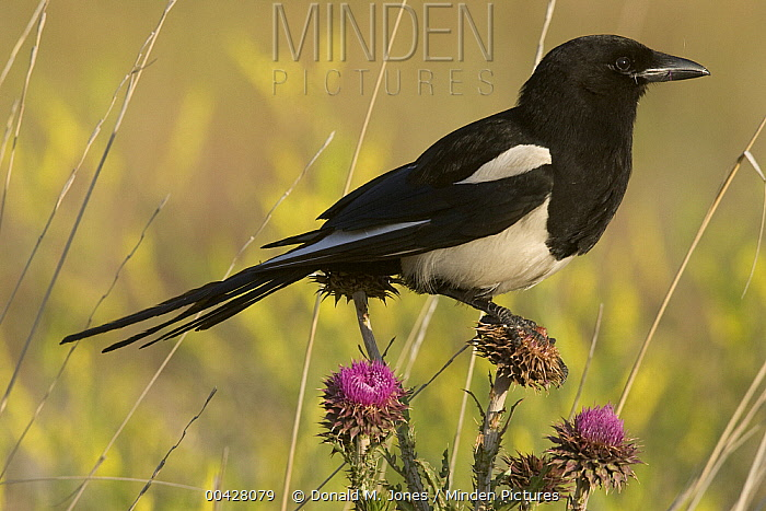 Black-billed Magpie (Pica pica) perching on blooming thistle, western Montana  -  Donald M. Jones