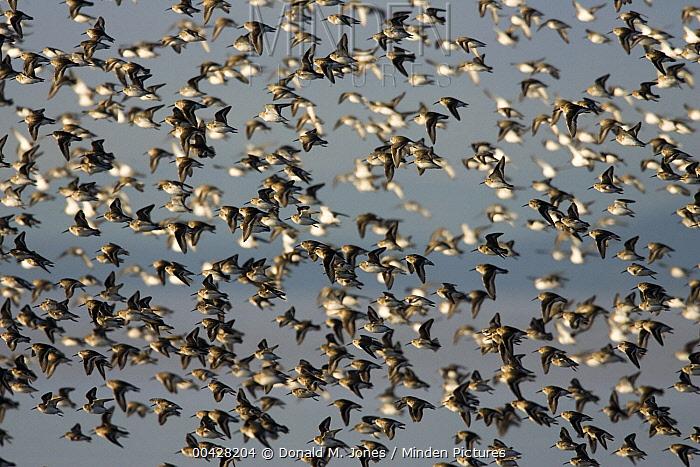 Dunlin (Calidris alpina) flock in winter plumage flying along coast, Washington  -  Donald M. Jones
