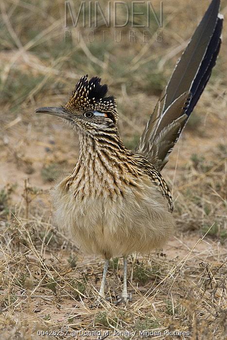 Greater Roadrunner (Geococcyx californianus), Arizona  -  Donald M. Jones