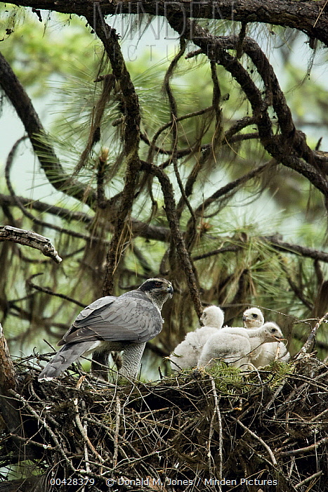 Northern Goshawk (Accipiter gentilis) female in nest with three chicks, western Montana  -  Donald M. Jones