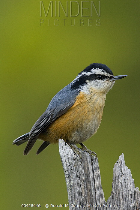 Red-breasted Nuthatch (Sitta canadensis), western Montana  -  Donald M. Jones