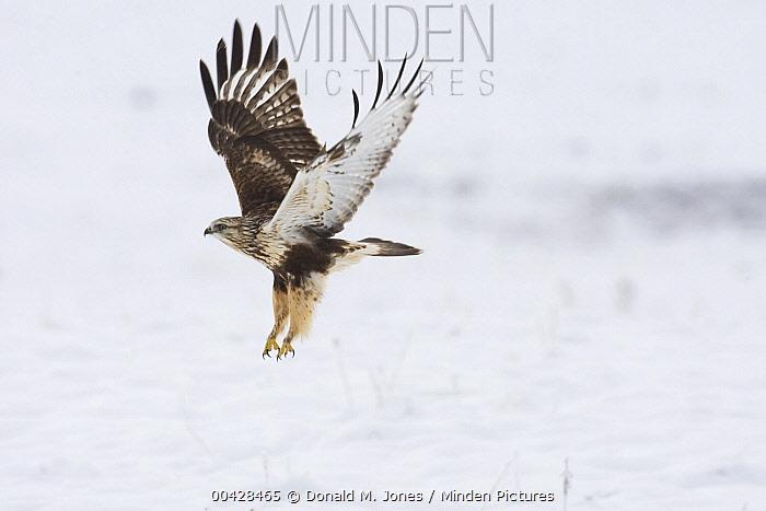 Rough-legged Hawk (Buteo lagopus) flying during winter, western Montana  -  Donald M. Jones
