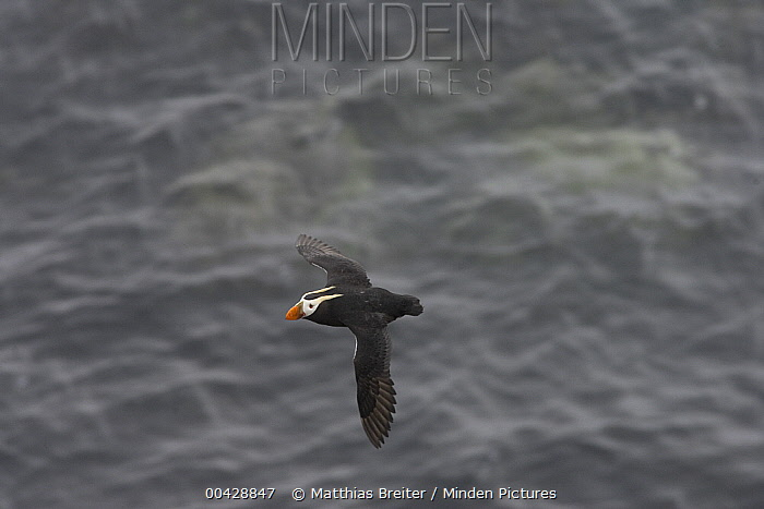 Tufted Puffin (Fratercula cirrhata) flying, Pribilof Islands, Alaska  -  Matthias Breiter