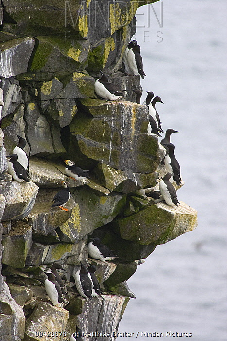 Common Murre (Uria aalge) group on cliff with Horned Puffin (Fratercula corniculata) pair, Pribilof Islands, Alaska  -  Matthias Breiter
