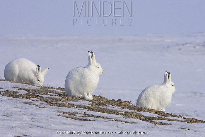 Arctic Hare (Lepus arcticus) group, Banks Island, Canada  -  Matthias Breiter