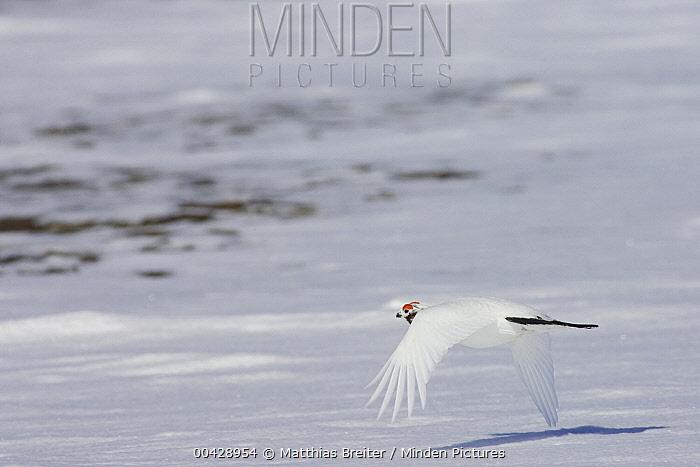 Willow Ptarmigan (Lagopus lagopus) male flying, Banks Island, Canada  -  Matthias Breiter