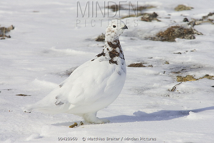 Willow Ptarmigan (Lagopus lagopus) female starting to molt, Banks Island, Canada  -  Matthias Breiter