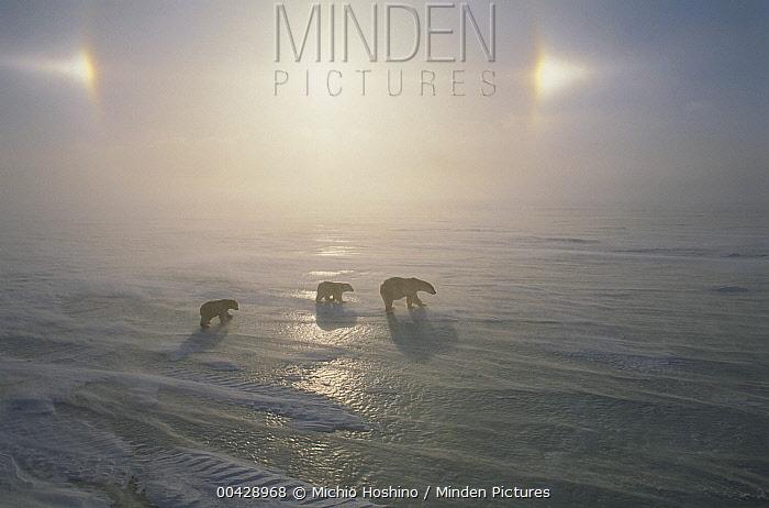 Polar Bear (Ursus maritimus) mother and cubs walking on ice field with sundog, Canada  -  Michio Hoshino