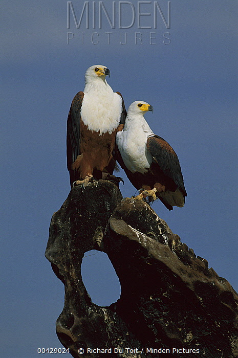 African Fish Eagle (Haliaeetus vocifer) pair, Namibia  -  Richard Du Toit