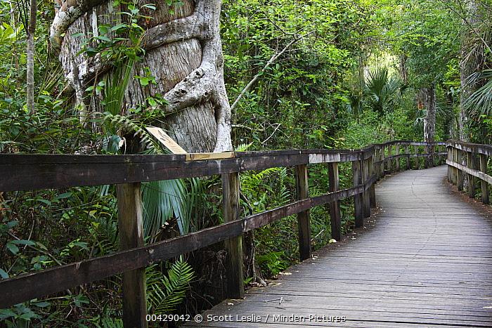 Boardwalk through palm and cypress forest, Fakahatchee Strand Preserve State Park, Florida  -  Scott Leslie
