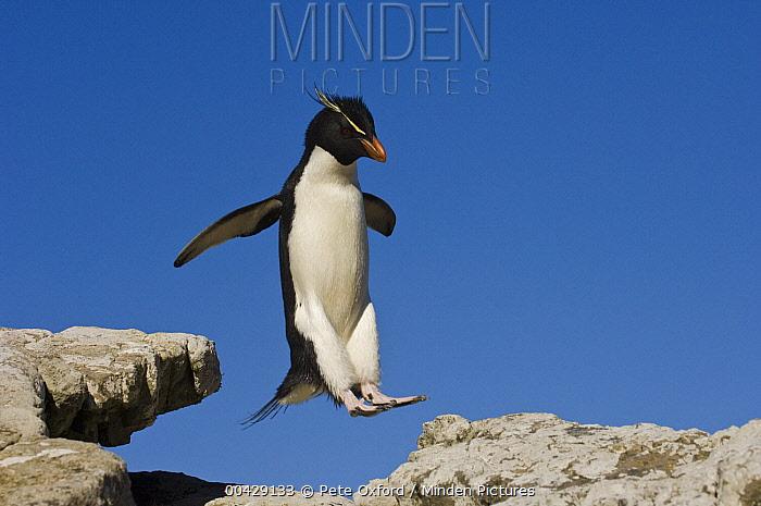 Southern Rockhopper Penguin (Eudyptes chrysocome) jumping, Pebble Island, Falkland Islands  -  Pete Oxford