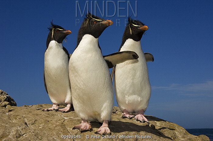 Rockhopper Penguin (Eudyptes chrysocome) trio, Pebble Island, Falkland Islands  -  Pete Oxford