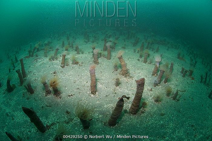 Tube-dwelling Anemone (Pachycerianthus fimbriatus) group, Monterey, California  -  Norbert Wu