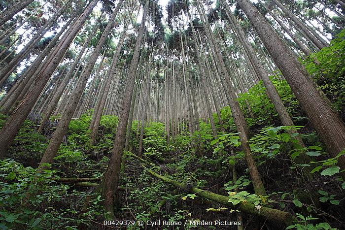 Japanese Cedar (Cryptomeria japonica) plantation, Yoshino-Kumano National Park, Japan  -  Cyril Ruoso