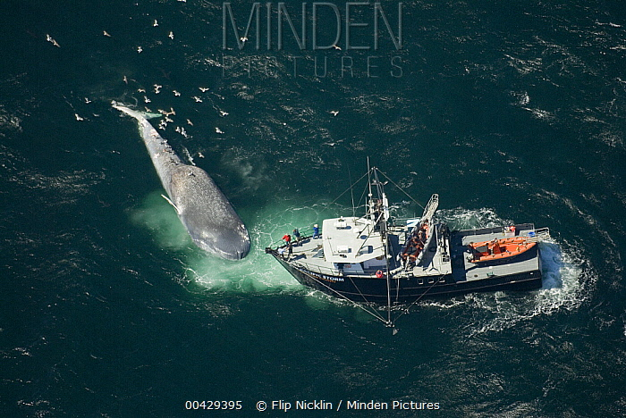 Blue Whale (Balaenoptera musculus) fatally injured in collision with ship and subsequently found by research vessel, Santa Barbara Channel, California  -  Flip  Nicklin