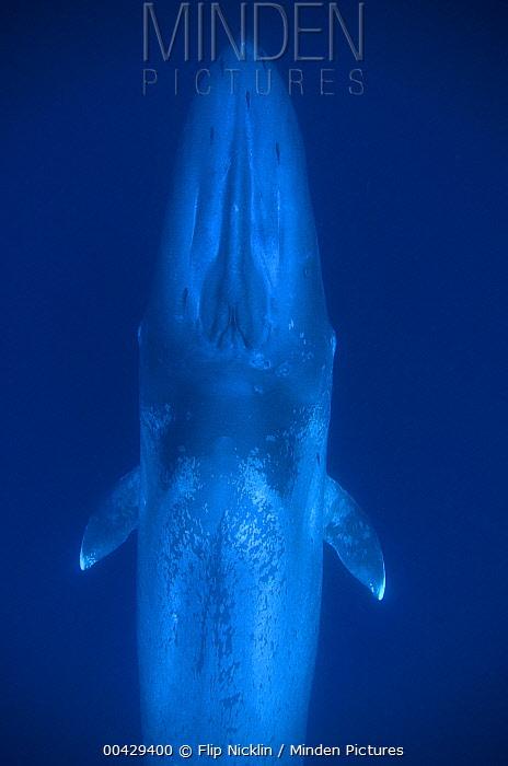 Blue Whale (Balaenoptera musculus) calf, Costa Rica  -  Flip  Nicklin