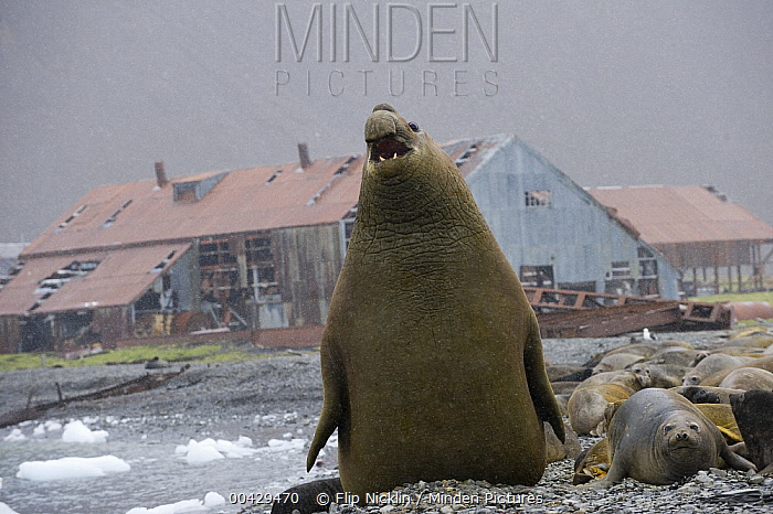 Southern Elephant Seal (Mirounga leonina) male bellowing on beach near abandoned whaling station, South Georgia Island  -  Flip  Nicklin