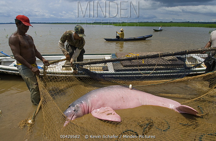 Amazon River Dolphin (Inia geoffrensis) captured in net for research, Mamiraua Reserve, Amazon, Brazil  -  Kevin Schafer