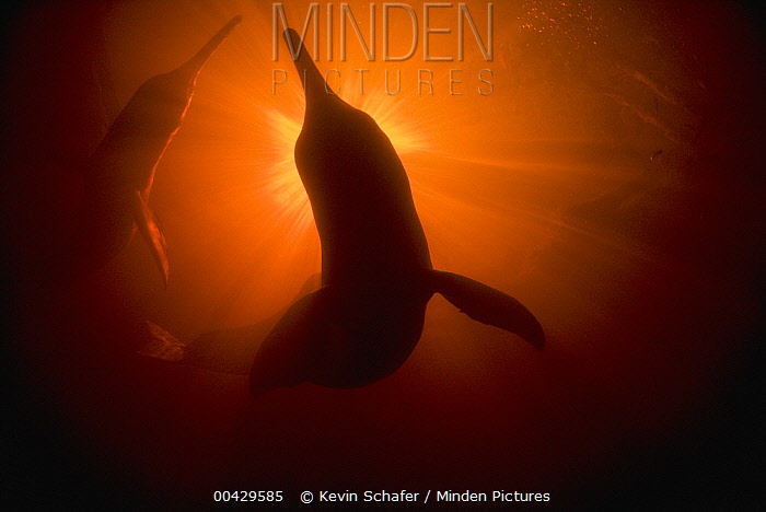 Amazon River Dolphin (Inia geoffrensis) pair swimming in Ariau River, tributary of Rio Negro, Amazonia, Brazil  -  Kevin Schafer