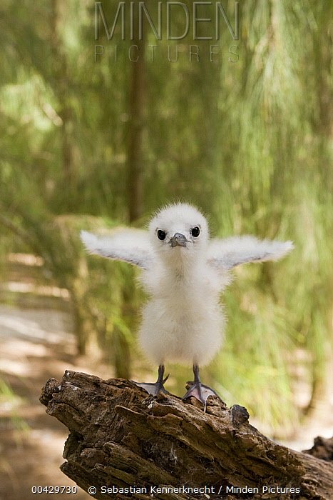 White Tern (Gygis alba) chick, Midway Atoll, Hawaiian Leeward Islands, Hawaii  -  Sebastian Kennerknecht