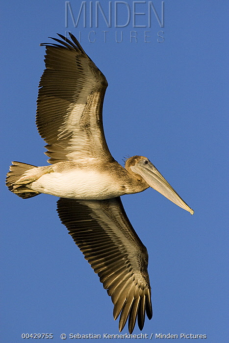 Brown Pelican (Pelecanus occidentalis) juvenile flying, Santa Cruz, Monterey Bay, California  -  Sebastian Kennerknecht