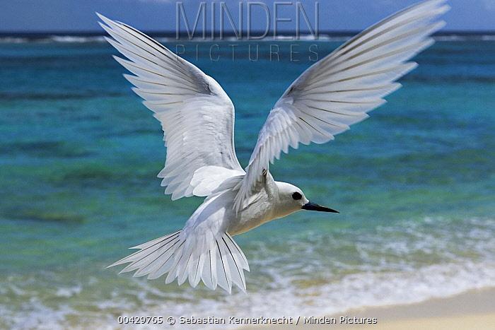 White Tern (Gygis alba) flying over beach, Midway Atoll, Hawaiian Leeward Islands, Hawaii  -  Sebastian Kennerknecht