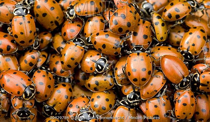 Convergent Lady Beetle (Hippodamia convergens) group gathering to mate, Sunol Regional Wilderness, California  -  Sebastian Kennerknecht