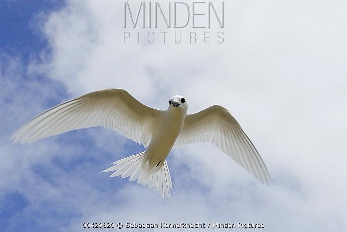 White Tern (Gygis alba) flying, Midway Atoll, Hawaiian Leeward Islands, Hawaii  -  Sebastian Kennerknecht