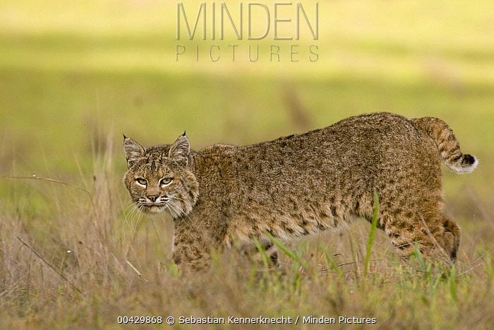Bobcat (Lynx rufus) female walking, Santa Cruz, Monterey Bay, California  -  Sebastian Kennerknecht