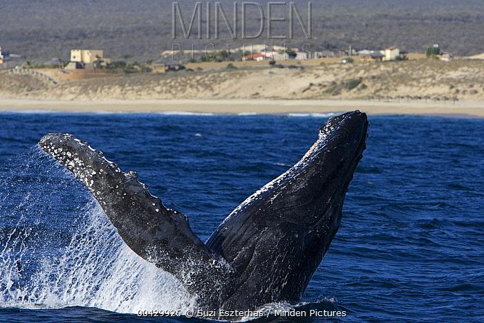 Humpback Whale (Megaptera novaeangliae) breaching, Sea of Cortez, Baja California, Mexico  -  Suzi Eszterhas