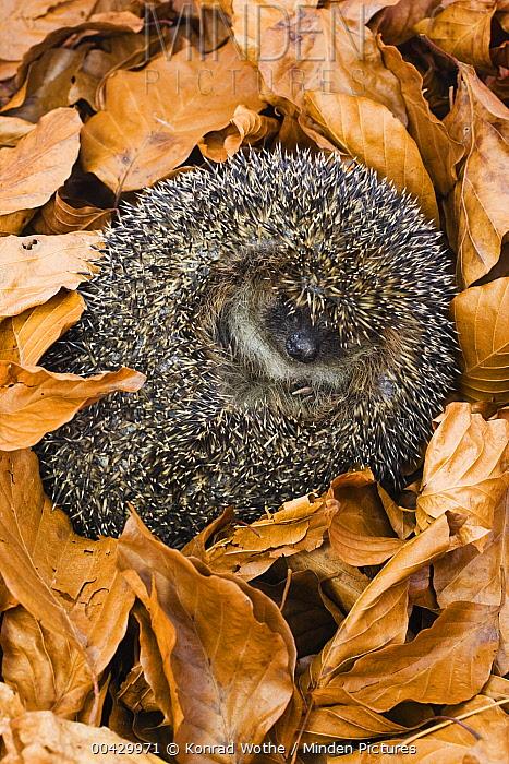 Brown-breasted Hedgehog (Erinaceus europaeus) hibernating in leaf litter, Bavaria, Germany  -  Konrad Wothe