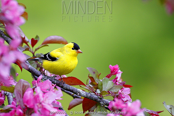 American Goldfinch (Carduelis tristis) male in cherry tree blossoms, Nova Scotia, Canada  -  Scott Leslie