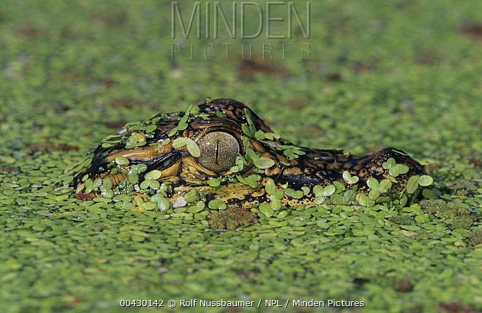 American Alligator (Alligator mississippiensis) juvenile in duckweed, Welder Wildlife Refuge, Texas  -  Rolf Nussbaumer/ npl