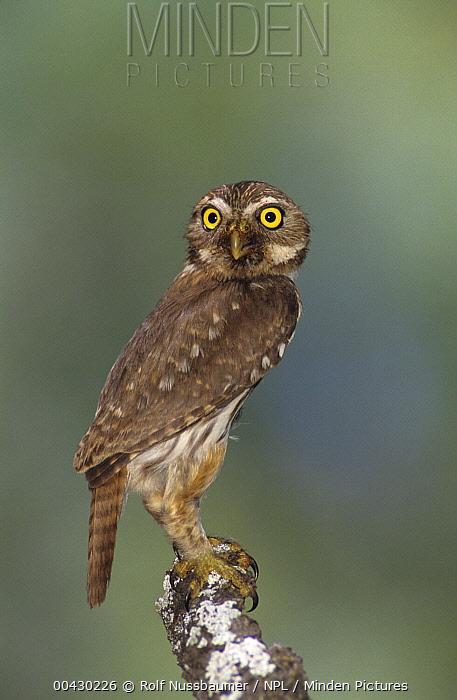 Ferruginous Pygmy Owl (Glaucidium brasilianum), Rio Grande Valley, Texas  -  Rolf Nussbaumer/ npl