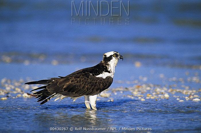 Osprey (Pandion haliaetus) in shallow water, Sanibel Island, Florida  -  Rolf Nussbaumer/ npl