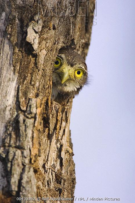 Ferruginous Pygmy Owl (Glaucidium brasilianum) young peering out from nest hole, Rio Grande Valley, Texas  -  Rolf Nussbaumer/ npl