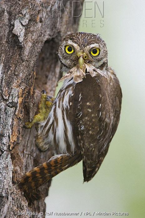 Ferruginous Pygmy Owl (Glaucidium brasilianum) bringing moth prey to nest hole, Rio Grande Valley, Texas  -  Rolf Nussbaumer/ npl
